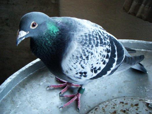 581127_090910_pigeon25.jpg