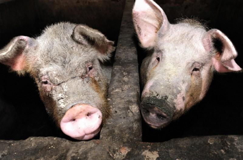 555284_110424_foodexplains_pigs2.jpg