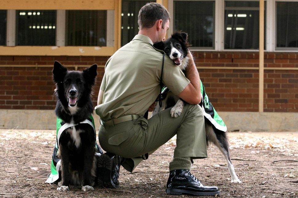 """Australia's been using war dogs since 1943, when they  were trained as """"savage guard dogs"""" to protect aircraft, according to the  Australian Air Force. Now, Australian dogs go on missions at home and abroad, mostly  of two breeds-German shepherds and Belgian Malinois.  The Air Force has its own breeding program, but often procures dogs from  private dealers and even takes donated canines. But Australia's military may  have found a new way to surge its four-legged troops-cloning.  According to the Herald Sun, the Ozzies  could have their first cloned canine unit as early as 2013.      Australia's most famous military dog might be Sarbi,  the camera-friendly Labrador-Newfoundland mix who, in 2008,  went missing after her handler was wounded during a firefight in Afghanistan.  She was declared MIA, but 14 months later a U.S. soldier spotted her and she  was eventually reunited with her unit.      In this photo, Australian Army bomb-detecting dogs Sam  and Jasmine-both retiring from service-are comforted at a ceremony for soldiers  returning from Afghanistan at the Holsworthy Barracks in Sydney on Nov. 26,  2006.      TROY BENDEICH/AFP/Getty Images"""