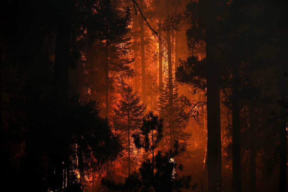 Flames from the Rim Fire consumes trees on Aug. 24, 2013 near  Groveland, California. The Rim Fire threatened 4,500 homes outside of Yosemite National Park.  Over 2,000 firefighters battled the blaze.       Photo by Justin Sullivan/Getty Images