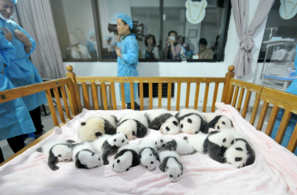 Fourteen Panda  cubs lie on a bed for members of the public to view at Chengdu Research Base  for Giant Panda Breeding on Sept. 23, 2013 in Chengdu, China. In 2013, 20 panda  cubs were born, with 17 of those cubs surviving. But, as Foreign Policy's Liz Carter wrote  in December, the Chinese really don't get America's obsession with pandas.      ChinaFotoPress/Getty  Images
