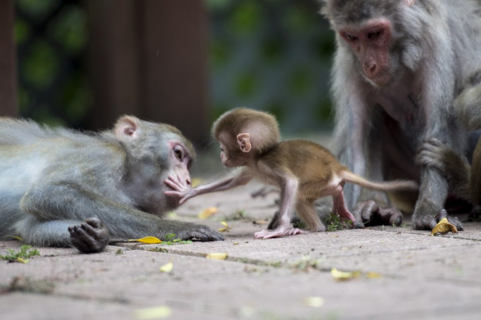 Macaque monkeys in a country park in Hong Kong, where monkey nuisance complaints are at a five-year high, on August 4.      Alex Ogle/AFP/Getty Images