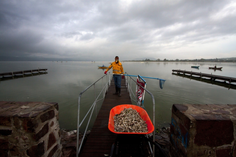 A fisherman collects dead fish at the lagoon of Cajititlan, in Tlajomulco de Zuniga, Jalisco State, Mexico, on Sept. 1, following a massive die-off over the weekend. Authorities are investigating whether a wastewater treatment plant is to blame.       Hector Guerrero/AFP/Getty Images