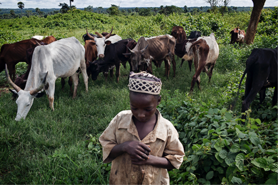 An ethnic Peuhl child refugee herding cattle near the Gbiti refugee camp in Cameroon. October 15, 2014.