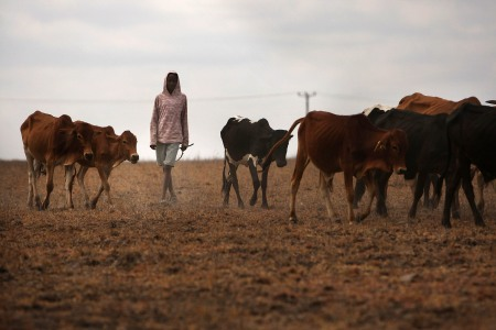KISAJU, KENYA - AUGUST 16: David Tirati, 13, a member of the Maasai ethnic group, walks with his cattle in search of grassland to graze his herd on August 16, 2009 in Kisaju, Kenya. As Kenya continues to suffer from a devastating drought, some of which is man made, the Maasai people have been afflicted by a lack of traditional grassland and water for their herds. Some Maasai have been forced to travel with their herds as far as Tanzania and to the outskirts of Nairobi in search of elusive grass. Some parts of Kenya have not witnessed any significant rainfall for two years.  (Photo by Spencer Platt/Getty Images)