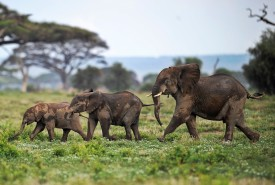 Picture taken on December 30, 2012 shows elephants calves playing at the Amboseli game reserve, approximately 250 kilometres south of Nairobi. Drawing to its close today, this year 2012, according to the International Fund for Animal Welfare, IFAW, stands out as the ''annus horriblis'' (Latin for 'year of horrors') for the World's largest land mammal with statistics standing at 34 tonnes of poached ivory having been seized, marking the biggest ever total of confiscated ivory in a single year, outstripping by almost 40 per cent last year?s record of 24.3 tonnes. Earlier this year, in just six weeks, between January and March 2012, at least 50 per cent of the elephants in Cameroon?s Bouba Ndjida National Park were slaughtered for their ivory by horseback bandits. Most illegal ivory is destined for Asia, in particular China, where it has soared in value as an investment vehicle and coveted as ?white gold.? AFP PHOTO/Tony KARUMBA        (Photo credit should read TONY KARUMBA/AFP/Getty Images)