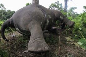 In this photograph taken on July 14, 2013, a resident (R) looks at the carcass of a male Sumatran elephant, its head and trunks mutilated and ivory tusks missing, in Aceh Jaya district on Indonesia's Sumatra island. According to Natural Resources Conservation Agency the elephant was killed by a booby trap set up by unidentified people. In the month of May three elephants were found dead in Tesso Nilo National Park, south of Aceh. Fewer than 3,000 endangered Sumatran elephants remain in the wild, according to the International Union for Conservation of Nature. Rampant expansion of palm oil, paper plantations, and mines, has destroyed nearly 70 percent of the Sumatran elephant's forest habitat over 25 years, conservationist says, and the animals remain a target of poaching.  AFP PHOTO / FIKRI RAMADHAVI        (Photo credit should read FIKRI RAMADHAVI/AFP/Getty Images)