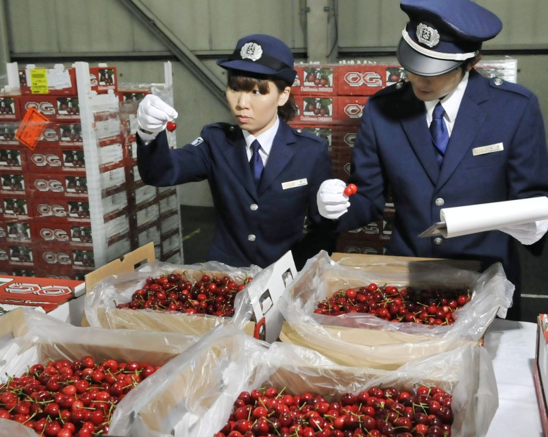 OSAKA, Japan - Imported American cherries from California, a popular taste in Japan in early summer, are checked at Kansai International Airport in Osaka Prefecture, western Japan, on May 28, 2014. (Kyodo)