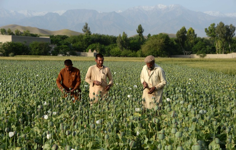 Afghan farmers harvest opium sap from a poppy field in Surkh Rod District, of Nangarhar province near Jalalabad on May 5, 2015.  Opium poppy cultivation in Afghanistan has reached a record high in 2014, a UN report has revealed, highlighting the failure of the US-led campaign to crack down on the lucrative crop. The total area under cultivation was about 224,000 hectares (553,500 acres) in 2014, a seven percent increase on last year, according to the Afghanistan Opium Survey released by the UN Office on Drugs and Crime. AFP PHOTO / Noorullah Shirzada        (Photo credit should read Noorullah Shirzada/AFP/Getty Images)