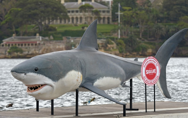 """A gigantic 7.4 metre Great White Shark replica """"floats"""" into Sydney Harbour on November 26, 2013 as it returns from Melbourne after being away for over a year. The replica shark was making its way to SEA LIFE Sydney Aqarium where the """"Shark Mission"""" exhibition is due to open on December 21, an immersive experience which aims to educate people about the plight of the world's most misunderstood predator and provide expert information on shark habitats and behaviours. AFP PHOTO / Greg WOOD        (Photo credit should read GREG WOOD/AFP/Getty Images)"""
