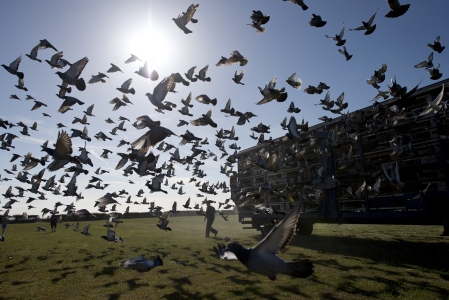 Thousands of racing pigeons are released in the 'Up North Combine' liberation from the Kilton Forest Show Ground in Worksop, Nottinghamshire on August 15, 2015. A total of around 20,000 birds were released in six sections, dependent on the distance of their lofts from the liberation site, with some birds flying for over 200 miles. AFP PHOTO / OLI SCARFF (Photo credit should read OLI SCARFF,OLI SCARFF/AFP/Getty Images)