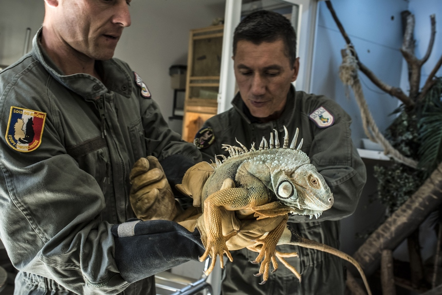 TO GO WITH AFP STORY BY SANDRA LAFFONT  Firefighters belonging to a special animal rescue unit of the Rhone region hold an iguana found during one of their interventions on August 25, 2015. AFP PHOTO / JEAN-PHILIPPE KSIAZEK        (Photo credit should read JEAN-PHILIPPE KSIAZEK/AFP/Getty Images)
