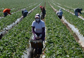 Migrant workers harvest strawberries at a farm March 13, 2013 near Oxnard, California. A mess with no easy fix: American crops going unpicked -- it's backbreaking work Americans won't touch -- and poor migrants in need of work are shying away for fear of being abused.  AFP PHOTO/JOE KLAMAR        (Photo credit should read JOE KLAMAR/AFP/Getty Images)