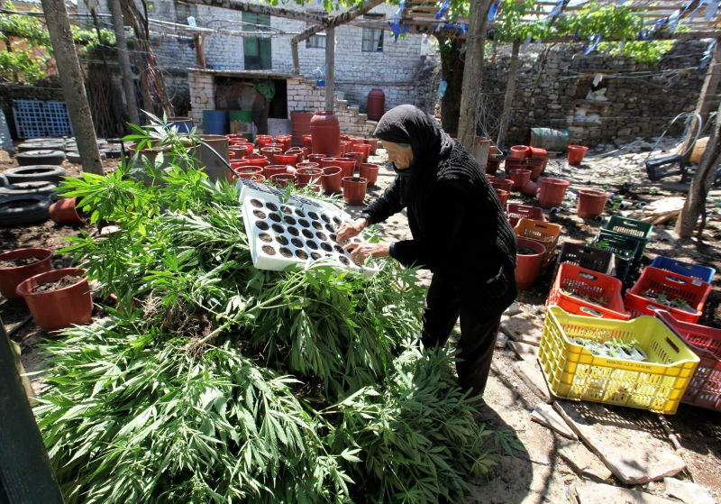 An elderly Albanian woman brings out of her home in Lazarat village, seized marijuana plants on June 20, 2014.  Police have been laying siege to the village of Lazarat since June 16, 2014, when an operation to destroy a huge drugs stockpile was repelled by heavy weapons fire, including anti-tank missiles and grenades. Albania is Europe's leading cannabis producer despite efforts by authorities, which claim to destroy between 90,000 and 130,000 cannabis plants every year. AFP PHOTO / GENT SHKULLAKU        (Photo credit should read GENT SHKULLAKU/AFP/Getty Images)