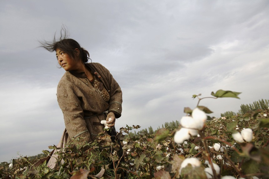 SHIHEZI, CHINA - SEPTEMBER 22: (CHINA OUT) A farmer from Henan Province picks cotton in a cotton field on September 22, 2007 in Shihezi of Xinjiang Uygur Autonomous Region, China. About one million farmer workers from surrounding provinces travelled to Xinjiang to pick cotton. Each farmer is expected to make at least 2,000 yuan (about US$ 266) for two months work from August to November in the cotton fields. Xinjiang's cotton production is estimated to reach 2.5 million tons this year which accounts for over 30 percent of the country's total output. (Photo by China Photos/Getty Images)