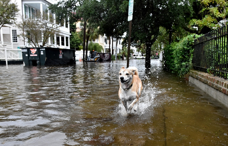 A dog runs on a flooded street in downtown Charleston, South Carolina on October 4, 2015. Relentless rain left large areas of the US southeast under water and forecasters warned that more heavy downpours could trigger historic flooding in the crucial next 24 hours. The states of North and South Carolina have been particularly hard hit, but the driving rain in recent days has spared almost none of the US East Coast and forecasters say the worst is not over quite yet. News reports blamed the wild weather on four deaths in the United States since Thursday, all in the Carolinas. AFP PHOTO/MLADEN ANTONOV        (Photo credit should read MLADEN ANTONOV/AFP/Getty Images)