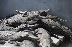TO GO WITH AFP STORY BY NOE LEIVA Hungry crocodiles in the pool of a private farm in the San Manuel municipality, Cortes department, 220 km north of Tegucigalpa on November 1, 2015. Thousands of  crocodiles (Crocodylus acutus) are starving since weeks ago after the owner of the farm was accused of drug trafficking in the United States. Several member of the prominent  Honduran Rosenthal family, including businessman and former vice president (1986-90) Jaime Rosenthal, were accused in the U.S. of drug trafficking and money laundering.      AFP PHOTO/Orlando SIERRA        (Photo credit should read ORLANDO SIERRA/AFP/Getty Images)