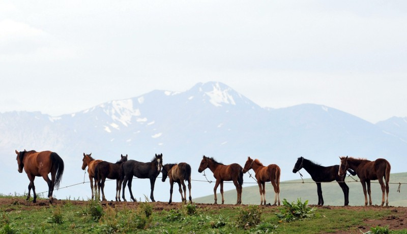 Horses are tethered to a rope at a pasture of the Suu-Samyr plateau, 2,500 meters above the sea level, along the ancient Great Silk Road from Bishkek to Osh, some 200 kilometers from Bishkek, on August 7, 2013. AFP PHOTO / VYACHESLAV OSELEDKO        (Photo credit should read VYACHESLAV OSELEDKO/AFP/Getty Images)