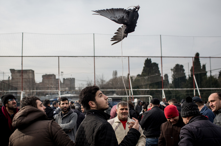 ISTANBUL, TURKEY - JANUARY 31:  A bird teathered by string is shown off to potential buyers at the Edirnekapi Bird Market on January 31, 2016 in Istanbul, Turkey. Every Sunday, set amongst Istanbul's old city walls, men gather to buy and sell their birds. Although pigeons are the most popular, many other species are also on sale including budgies, roosters and chickens. People come from all across Istanbul to visit the famous market and to purchase rare breeds. Prices for a bird can range from 10 Turkish Lira to over 2000 Turkish Lira depending on the quality, beauty and breed.  (Photo by Chris McGrath/Getty Images)