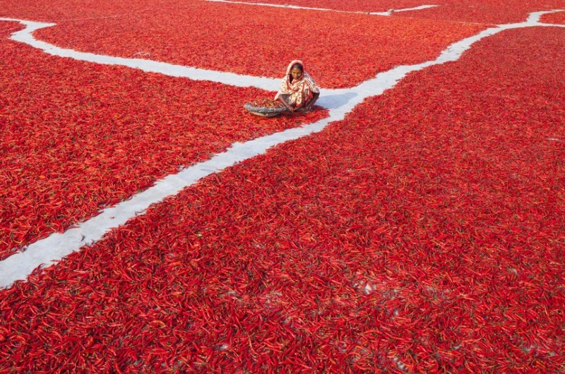 GAIBANDHA, BANGLADESH - FEBRUARY 23 : Women process and dry red chili pepper under sun near Jamuna river, 240 kms north-west of Dhaka in Gaibandha, Bangladesh on February 23, 2016. Everyday they earn less than USD $1 (Taka. 70) after work 10 hours a day. Gaibandha area in Bangladesh which is affected by flood throughout the monsoon season each year. The char areas have some of the highest levels of poverty in the country. Red chili is the main source of income in the area and mostly women are engaged in its production and processing along with their regular unpaid care work. Women in  this area have limited or no access to markets or finance; they have less bargaining power and limited income. (Photo by Zakir Hossain Chowdhury/Anadolu Agency/Getty Images)