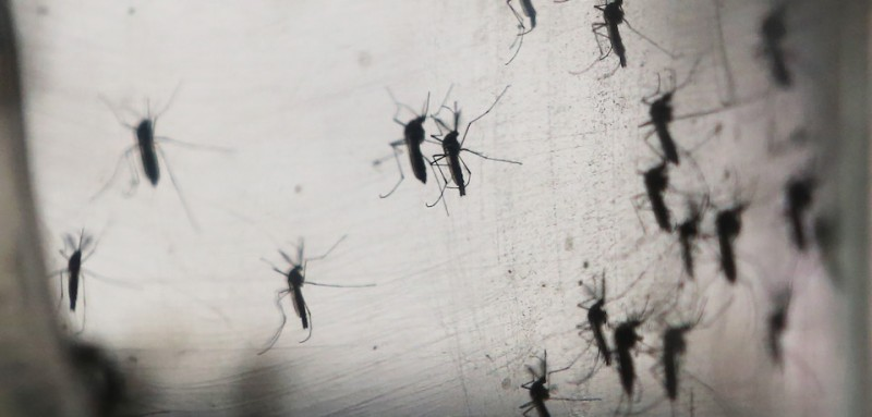 RECIFE, BRAZIL - JANUARY 26:  Aedes aegypti mosquitos are seen in a lab at the Fiocruz institute on January 26, 2016 in Recife, Pernambuco state, Brazil. The mosquito transmits the Zika virus and is being studied at the institute. In the last four months, authorities have recorded close to 4,000 cases in Brazil in which the mosquito-borne Zika virus may have led to microcephaly in infants. The ailment results in an abnormally small head in newborns and is associated with various disorders including decreased brain development. According to the World Health Organization (WHO), the Zika virus outbreak is likely to spread throughout nearly all the Americas. At least twelve cases in the United States have now been confirmed by the CDC.  (Photo by )