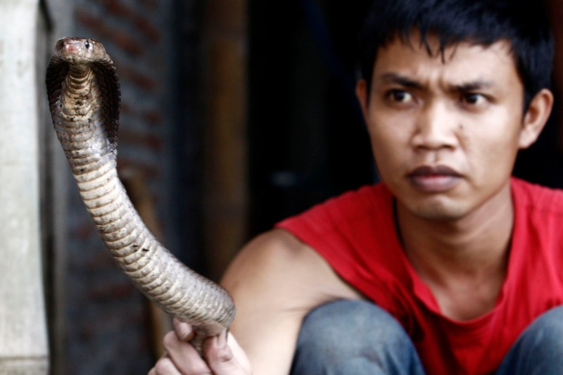 YOGYAKARTA, INDONESIA - JUNE 24:  A snake butcher, Muhammad Nur, holds a cobra as they are harvested to make into burgers on June 24, 2010 in Yogyakarta, Indonesia. The snakes are caught and processed into burgers which are served at a local restaurant in various guises.  (Photo by Ulet Ifansasti/Getty Images)