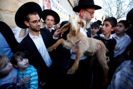 A member of the Temple Institute holds a one-year-old flawless goat in an enactment of the preparation for the renewal of the Passover sacrifice in the third Jewish Temple on April 2, 2012 during a display to the public in Jerusalem. The slaughter of the lamb was conducted in precise way according to Biblical references that ensures a quick and painless demise. AFP PHOTO/GALI TIBBON (Photo credit should read GALI TIBBON/AFP/Getty Images)