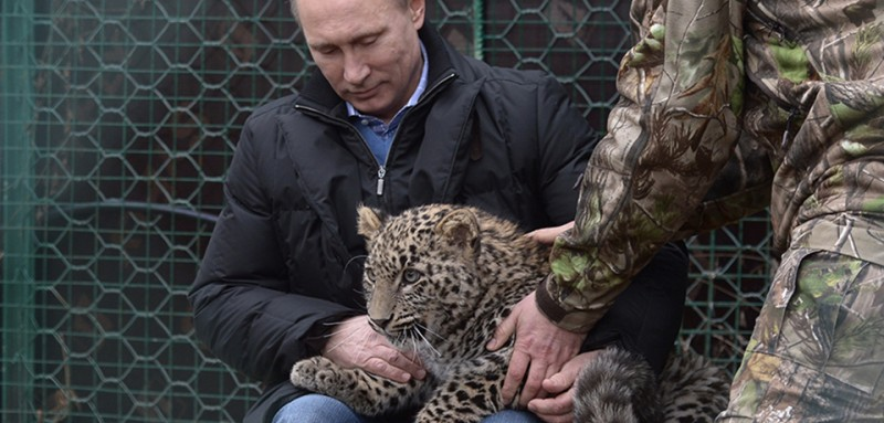 Russia's President Vladimir Putin caresses a Persian leopard cub as he visits the Persian leopard breeding and rehabilitation centre in the National Park in the Black Sea resort of Sochi, on February 4, 2014. A leopard was announced  in 2011 to be one of the official mascots of the 2014 Sochi Winter Games. Perhaps the most important vote in Russia's public selection of a new Olympic mascot was cast when Vladimir Putin said he wanted a funky leopard to represent the 2014 Sochi Winter Games. AFP PHOTO/ RIA-NOVOSTI/ POOL / ALEXEI NIKOLSKY        (Photo credit should read ALEXEI NIKOLSKY/AFP/Getty Images)