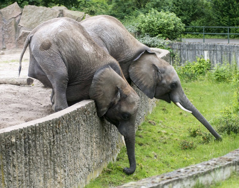 (GERMANY OUT) Tierpark Berlin Friedrichsfelde Berlin 20.05.2014  Bild-Motiv: Elefanten Kando und Kariba angeln sich saftiges Gruen aus dem Graben  (Photo by Olaf Wagner/ullstein bild via Getty Images)
