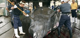 CHIBA, JAPAN - JUNE 25: Japanese whalers slaughter a 9.58m Baird's beaked whale at the Wada port on June 25, 2006 in Chiba, Japan. Japan and Norway, leaders of pro-whaling nations, took a step toward restoring commercial whaling in a vote at the International Whaling Commission. (Photo by Koichi Kamoshida/Getty Images)  *** Local Caption ***