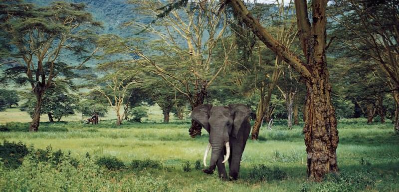 TANZANIA - MARCH 03: African bush elephant (Loxodonta africana), Elephantidae, Ngorongoro Conservation Area, Tanzania. (Photo by )
