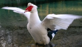 duck_wings_outstretched