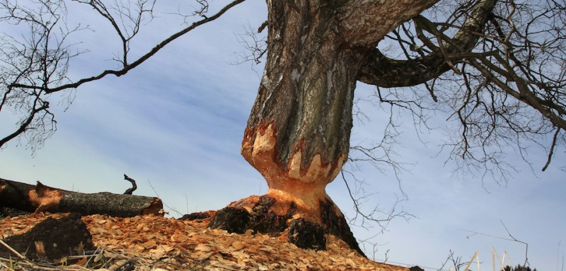 A birch gnawed by beavers stands near Lengenwang, southern Germany, on April 9, 2013. 120 beavers have been resettled in southern parts of Germany until1979. AFP PHOTO / KARL-JOSEF HILDENBRAND     GERMANY OUT        (Photo credit should read KARL-JOSEF HILDENBRAND/AFP/Getty Images)