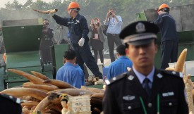 A policeman stands befoe a pile of ivory waiting to be crushed as workers destroy ivory during a public event in Dongguan, south China's Guangdong province on January 6, 2014. China crushed a pile of ivory reportedly weighing over six tonnes on January 6, in a landmark event aimed at shedding its image as a global hub for the illegal trade in African elephant tusks.   CHINA OUT     AFP PHOTO        (Photo credit should read AFP/AFP/Getty Images)
