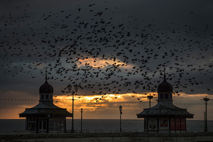 BLACKPOOL, ENGLAND - FEBRUARY 07:  Starlings fly over Blackpool's North Pier as they gather in a murmuration on February 7, 2017 in Blackpool, England. The North Pier is closed for winter maintenance making it a safe and peaceful roost for the starlings at night. It is thought that starlings flock together in large groups for various reasons, such as flocking together makes it difficult for predators to target a single bird, it also keeps them warm. They gather over their  winter roosting site just before dusk and perform their acrobatic whirling motions before setting down for the night.  (Photo by Christopher Furlong/Getty Images)