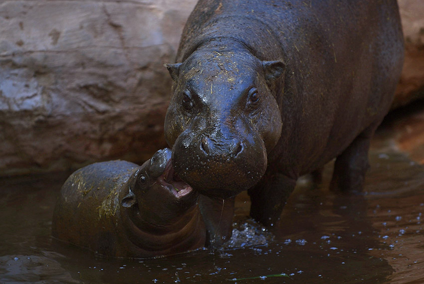 TOPSHOT - Hippopotamus calf, Nimba, bites its mother, Liberia, at the Fuengirola Bioparc, near Malaga on February 8, 2017. / AFP / JORGE GUERRERO        (Photo credit should read JORGE GUERRERO/AFP/Getty Images)
