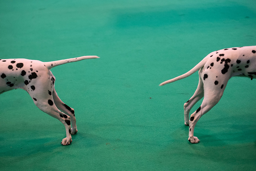 TOPSHOT - Dalmation dogs are shown on the second day of the Crufts dog show at the National Exhibition Centre in Birmingham, central England, on March 10, 2017.  / AFP PHOTO / OLI SCARFF        (Photo credit should read OLI SCARFF/AFP/Getty Images)
