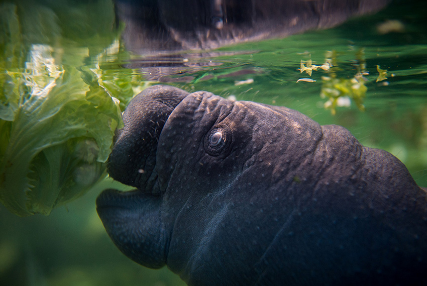 TOPSHOT - A picture taken on March 15, 2017 shows a female manatee swimming near his mother in the manatee tank of the Zoological parc of Beauval on March 15, 2017, eleven days after his birth. / AFP PHOTO / GUILLAUME SOUVANT        (Photo credit should read GUILLAUME SOUVANT/AFP/Getty Images)