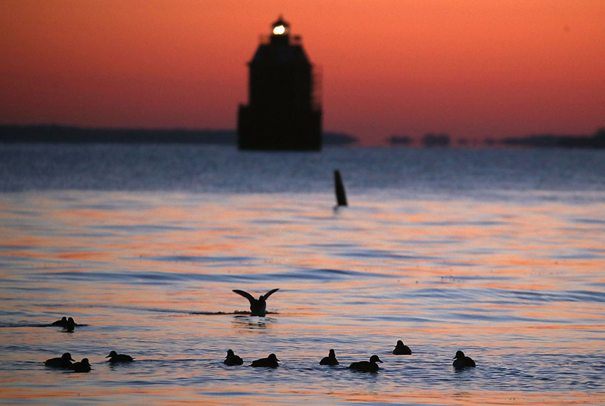 SKIDMORE, MD - MARCH 17: Ducks swim in the frigid waters of the Chesapeake Bay as the Sandy Point Shoal Lighthouse looms in the distance, on March 17, 2017 in Skidmore, Maryland. Under U.S. President Donald Trump's 2018 budget proposal, federal funding for the Chesapeake Bay Program that focuses on reducing pollution in the bay, would be eliminated.  (Photo by Mark Wilson/Getty Images)