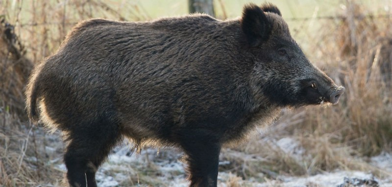 Wild boar phd thesis