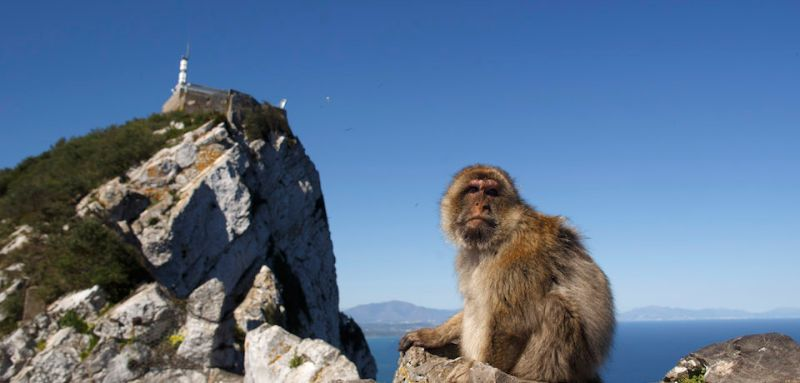 GIBRALTAR - APRIL 04:  A monkey sits on a rock at the top of Gibraltar Rock on April 4, 2017 in Gibraltar, Gibraltar. Tensions have risen over Brexit negotiations for the Rock of Gibraltar. The European Council has said Gibraltar would be included in a trade deal between London and Brussels only with the agreement of Spain. While former Conservative leader Michael Howard claimed that Theresa May would be prepared to go to war to protect the territory.  (Photo by Pablo Blazquez Dominguez/Getty Images)