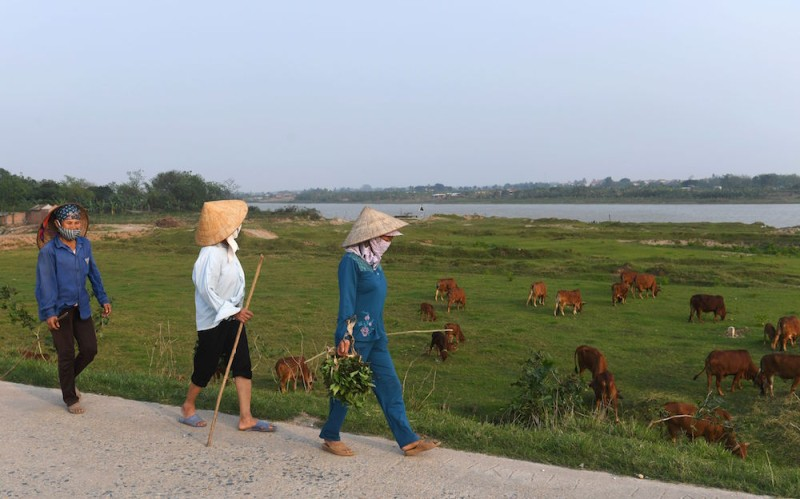 This picture taken on April 3, 2017 shows female farmers looking after their families' cows along the Duong river in the northern province of Bac Ninh.  / AFP PHOTO / HOANG DINH Nam        (Photo credit should read HOANG DINH NAM/AFP/Getty Images)