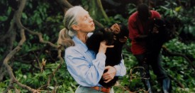 UNSPECIFIED  :  Jane Goodall, English primatologist, ethologist, and anthropologist, with a chimpanzee in her arms, c. 1995  (Photo by Apic/Getty Images)