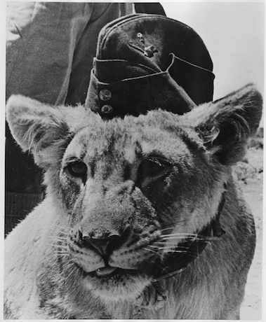 Dolly_a_proud_British_Lioness_is_fighting_with_allied_front-line_forces._She_is_mascot_of_a_South_African_Pioneer..._-_NARA_-_196357