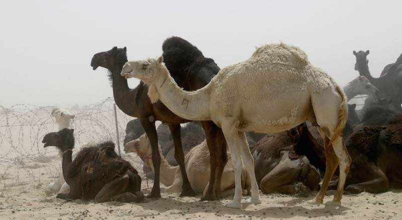 Camels are seen in a desert area on the Qatari side of the Abu Samrah border crossing between Saudi Arabia and Qatar, on June 20, 2017. Around 12,000 camels and sheep have become the latest victims of the Gulf diplomatic crisis, being forced to trek back to Qatar from Saudi Arabia, a newspaper reported. / AFP PHOTO / STRINGER        (Photo credit should read STRINGER/AFP/Getty Images)