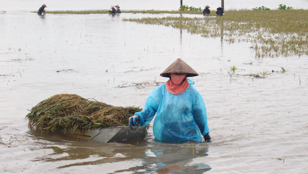 TOPSHOT - This picture taken on October 12, 2017 shows a farmer pulling a boat loaded with harvested paddy on a flooded rice field in the northern province of Ha Nam.  The death toll from devastating floods and landslides in north and central Vietnam has jumped to 54, officials said on October 13, in one of the deadliest weather disasters to hit the country in years. / AFP PHOTO / Vietnam News Agency / STR        (Photo credit should read STR/AFP/Getty Images)