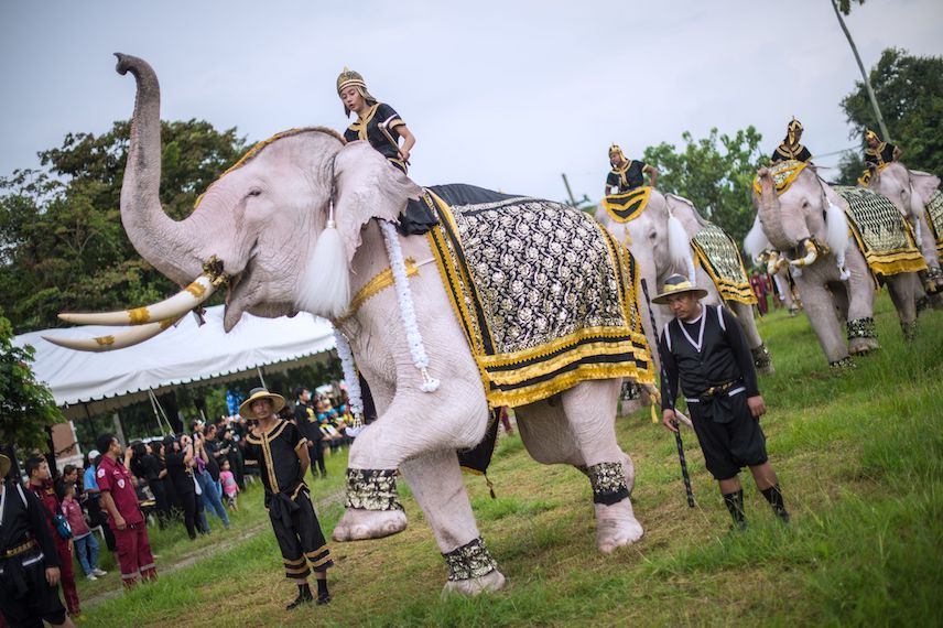 TOPSHOT - A white elephant raises its leg during a short procession as people gathered to pay tribute to the late Thai King Bhumibol Adulyadej during a ceremony marking one year since his death, in a field in Ayutthaya on October 13, 2017. Monks led sombre ceremonies across Thailand October 13 to mark one year since the death of King Bhumibol Adulyadej, as the grieving nation prepares to bid a final farewell to the beloved monarch in a spectacular cremation ceremony this month. / AFP PHOTO / ROBERTO SCHMIDT        (Photo credit should read ROBERTO SCHMIDT/AFP/Getty Images)