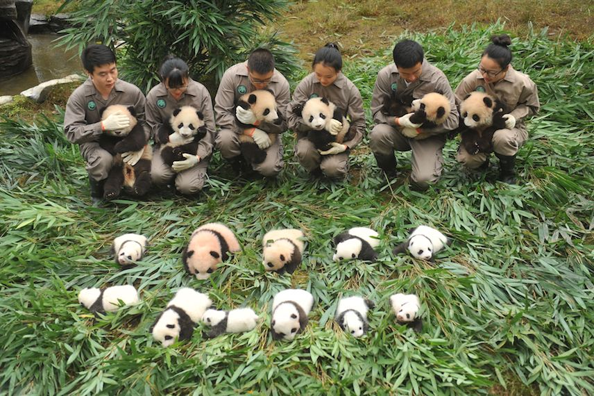 TOPSHOT - This picture taken on October 13, 2017 shows panda keepers holding cubs to be displayed to the public at the Bifengxia Base of China Conservation and Research Centre of the Giant Panda in Yaan in China's southwestern Sichuan province. / AFP PHOTO / STR / China OUT        (Photo credit should read STR/AFP/Getty Images)