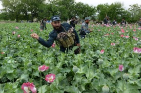 Afghan security personnel destroy an illegal poppy crop in the Surkh Rod district of eastern Nangarhar province on Apr. 5. (Noorullah Shirzada/AFP/Getty Images)