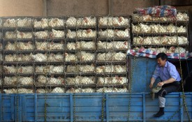 A truck loaded with caged chickens at a poultry market on March 29, 2007 in Nanjing, China. (China Photos/Getty Images)
